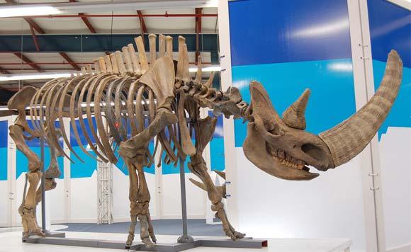 rhino-fossils